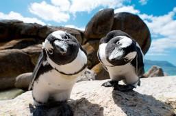 Boulders-Beach-Penguins_453_300_90auto_s