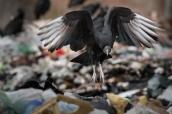 Fotografía de un Jote cabeza negra (Coragyps atratus) buscando comida entre los residuos del basurero de El Hoyo,